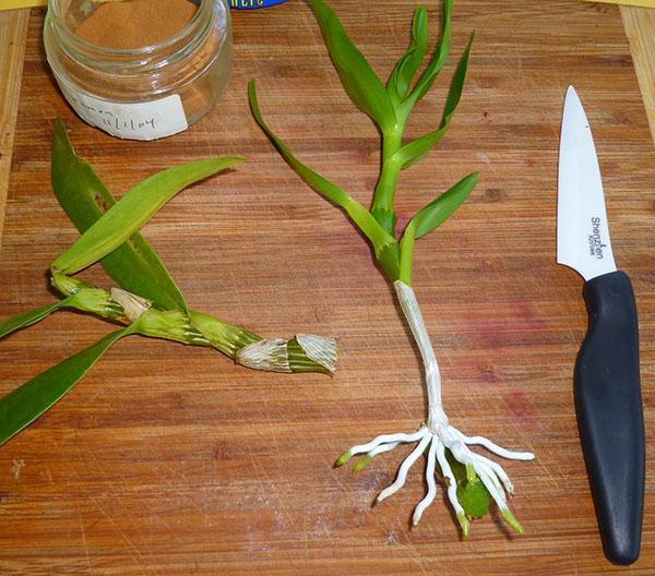 Дочерняя розетка орхидеи дендробиум