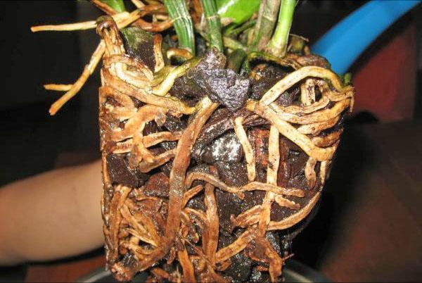 Гнилые и мертвые корни необходимо удалить
