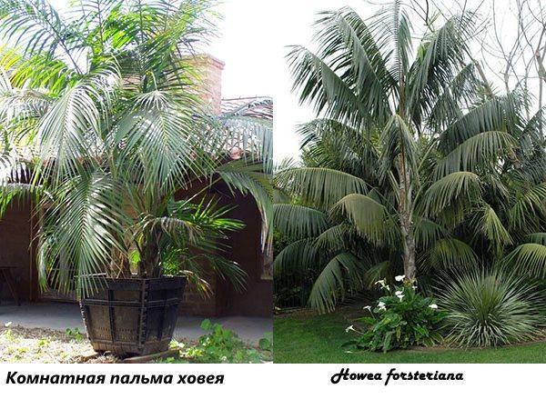 Разновидность пальм комнатных фото с названиями