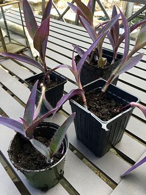 Из отрезанных верхушек можно вырастить новые растения
