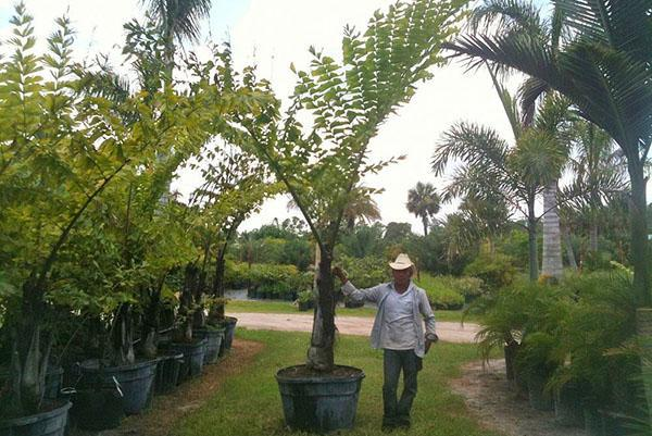 Виды комнатных пальм