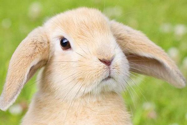 Карликовый кролик породы баран