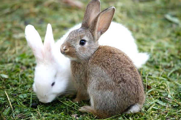 Кролики бывают мясные, пушные, великаны, декоративные