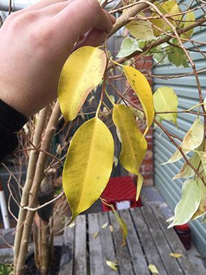Почему не растет и сбрасывает листья фикус бенджамина, что делать когда опадает листва, видео