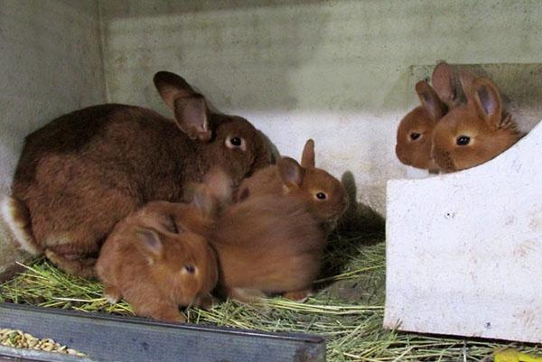 Месячные новозеландские красные крольчата