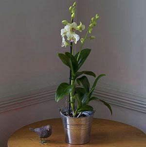 Начинает свое цветение орхидея дендробиум