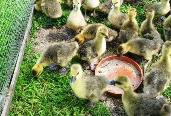 Недельные гусята на зеленой траве