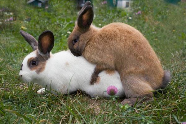 модели женского можно ли спаривать кроликов разных пород Доставка Москве