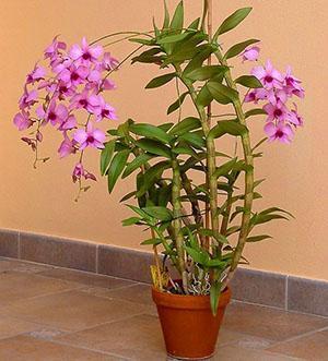 Один из видов орхидеи дендробиум дома