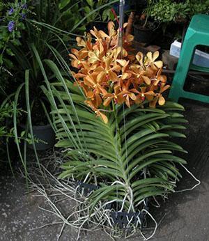 Ванда орхидея уход в домашних