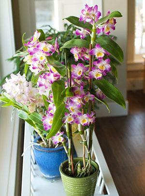 Уход за Орхидеей Дендробиум в домашних условиях