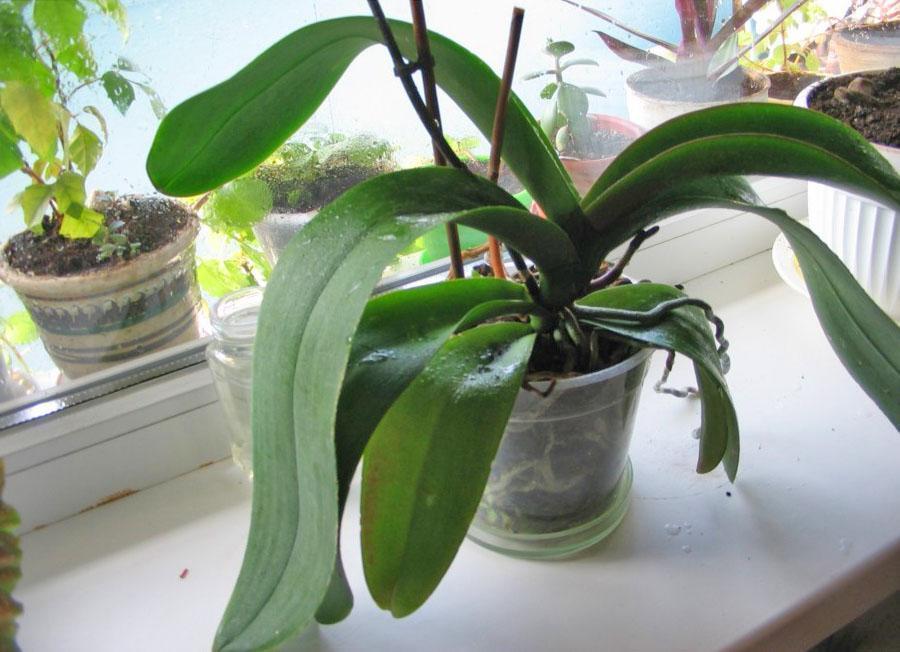 Орхидея не хочет цвести