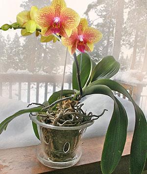 Фото орхидей в горшке