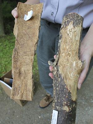 Остановить и обезвредить короеда можно тоже при помощи ловчих поясов
