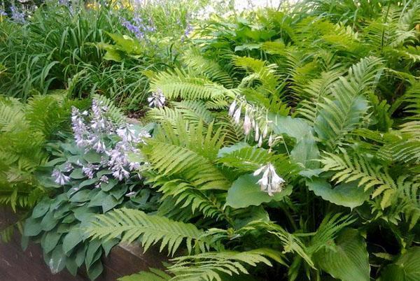 Папоротник садовый - посадка и уход на даче в саду, размножение и особенности строения папоротников, видео