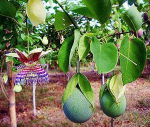 Плоды пассифлоры обладают лечебными свойствами