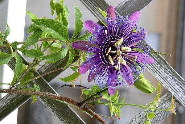 После опыления цветка вырастут плоды