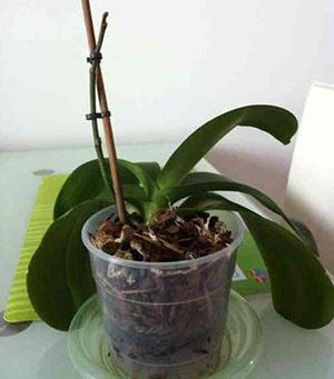 Почему орхидеи не цветет