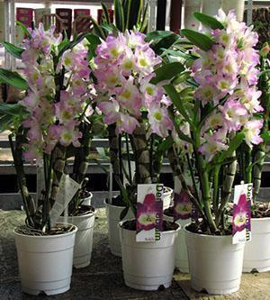 При достаточном освещении орхидея дендробиум радует пышным цветением