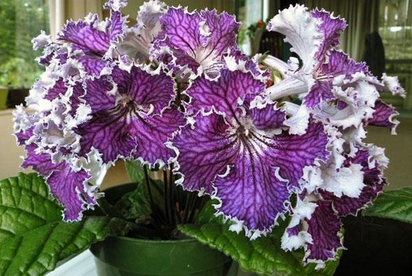 При хорошем уходе цветение стрептокарпуса радует взгляд