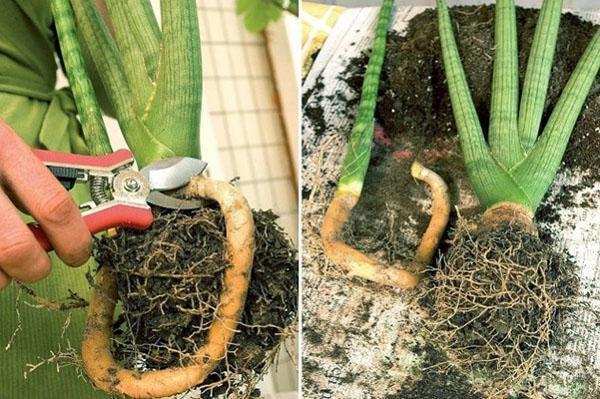 При пересадке взрослое растение можно разделить на несколько частей