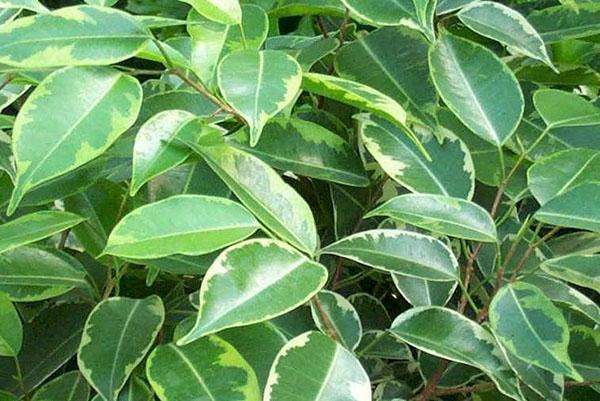 Пышную листву фикуса хорошо промывать теплым душем