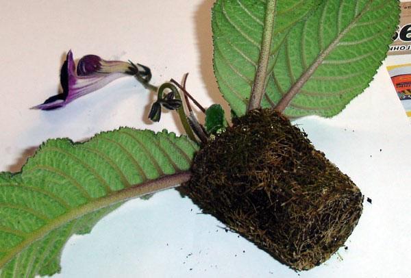 Растение быстро разрастается и нуждается в пересадке