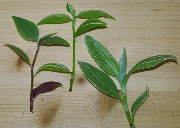 Растение необходимо периодически обрезать