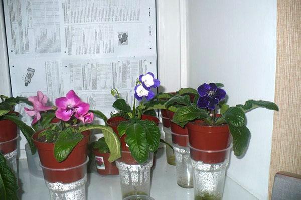 Выращивание стрептокарпуса в домашних условиях