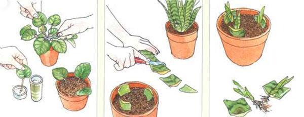 Размножение частями листовой пластины