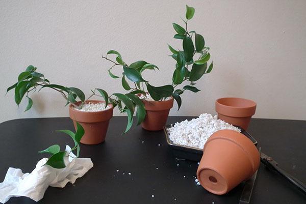 Размножение фикуса Бенджамина листовыми пластинами