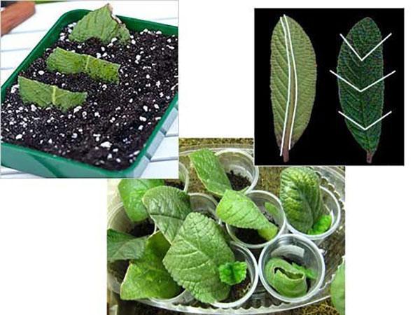 Размножение стрептокарпуса частями листовой пластины