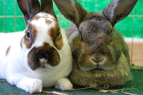 Случать необходимо только здоровых кроликов