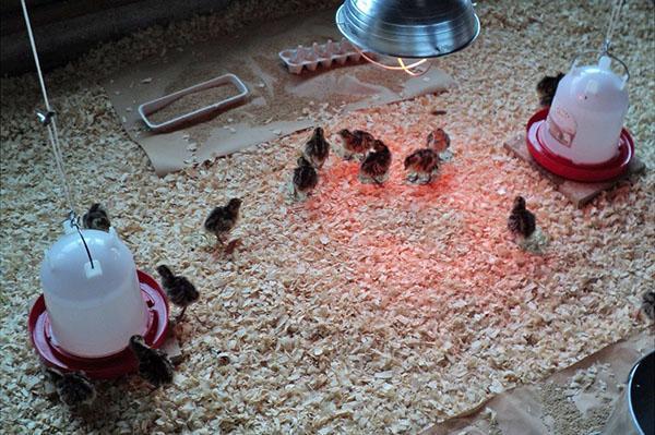 Содержание маленьких птенцов