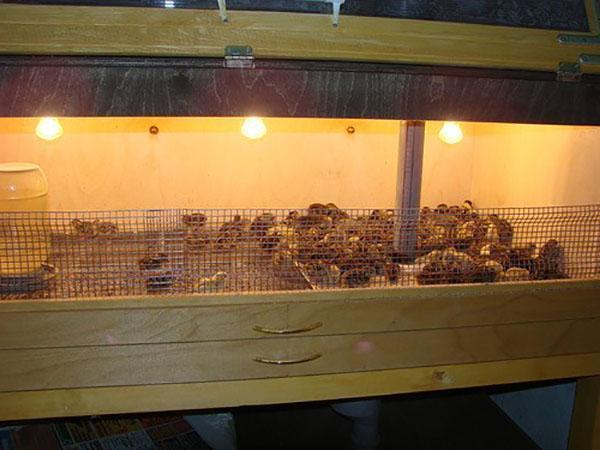 Специальная клетка с подсветкой для птенцов индюшки