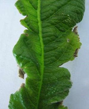 Стрептокарпус поражен мучнистой росой