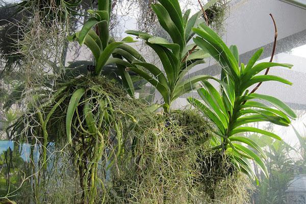 Так растет орхидея Ванда