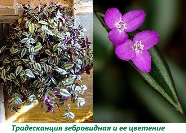 Традесканция зебровидная и ее цветение