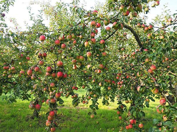 В хорошо организованном саду всегда хороший урожай фруктов и ягод