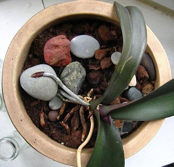 В состав грунта для орхидей входит керамзит и кусочки древесного угля