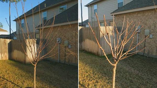 Весенняя обрезка молодого дерева