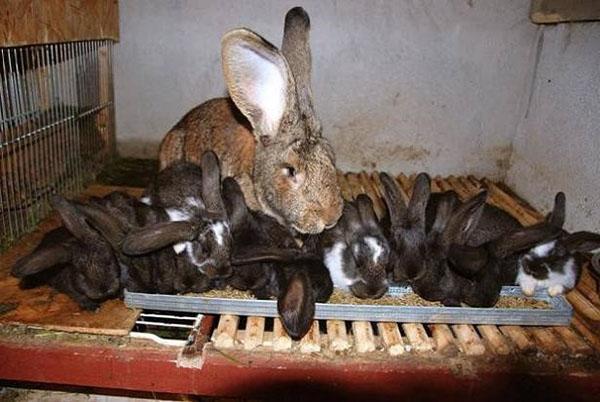 Все крольчата одинаковы в весе и росте