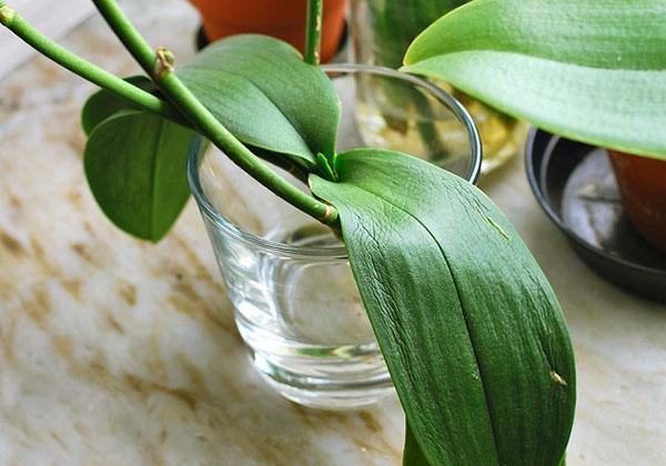 Выхаживание орхидеи в стеклянном сосуде