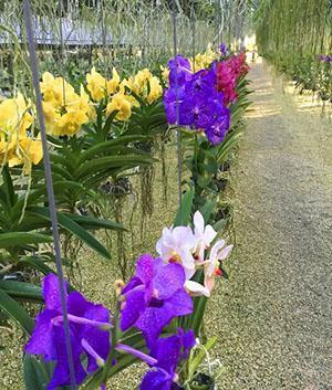 Выращивание орхидеи Ванда в оранжерее