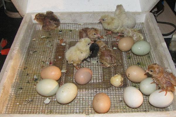 Вывод птенцов
