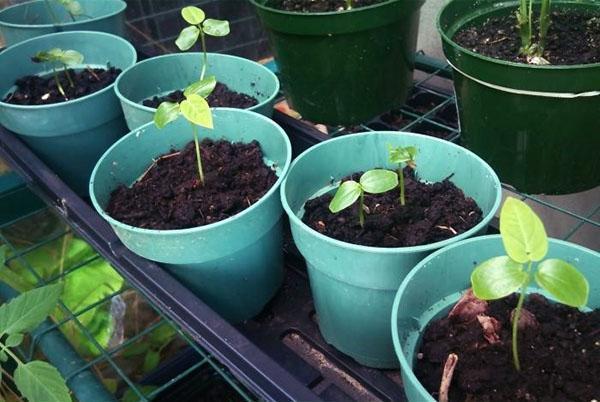 Выращивание маракуйя из семян в домашних условиях 51