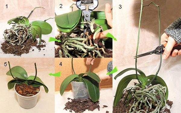 Этапы пересадки орхидеи