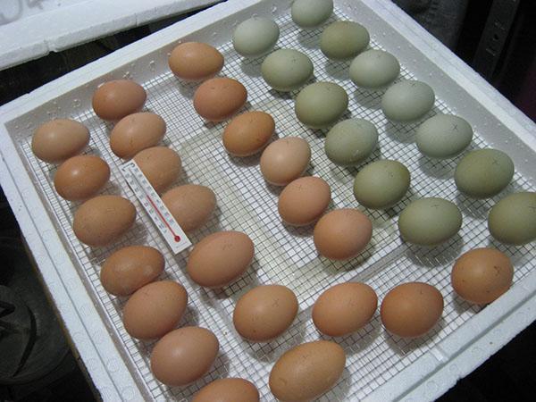 Инкубатор для цыплят в домашних условиях 64