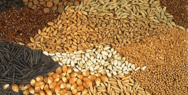 Зерно для кормления индюков