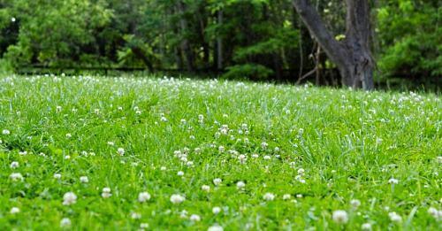 Как создать на песке газон из белого клевера